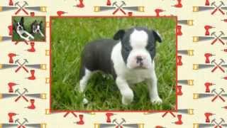 Boston Terrier Training Tips