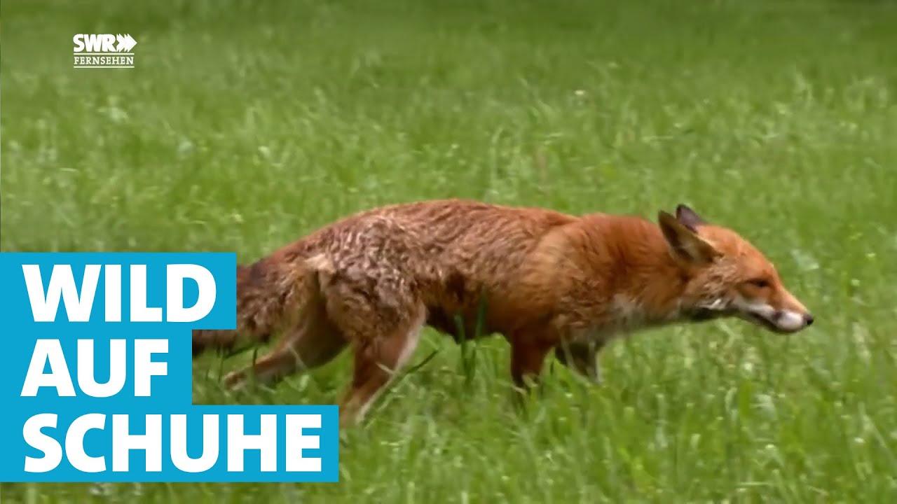 a15efa673db6da Fuchs tötet Hühner und klaut Schuhe - YouTube