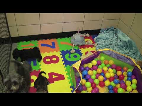 Schnoodle puppies for sale @ www.littlerascalspuppies.com