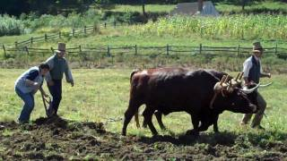 Plowing a Field with Oxen - Old Sturbridge Village
