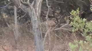 -Lions hunting bush pig @ Entabeni Game Reserve (by Ranger Matt)