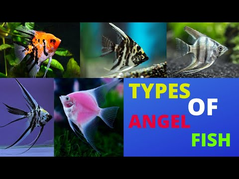 TYPES OF ANGEL FISH [ TOP 10 ]