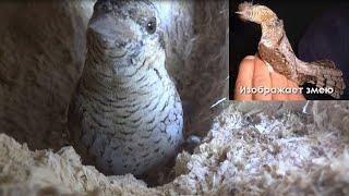вертишейка (Jynx torquilla) - птица, умеющая изображать змею - Птицы России - Фильм 38