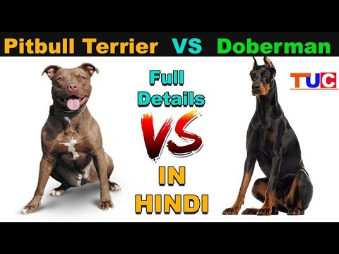 Pitbull Terrier VS Doberman Pinscher : Dog VS Dog : TUC