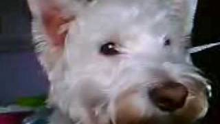 Westie With Dancing Ears! Funny, Must Watch!