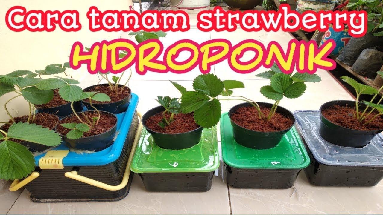 Cara Tanam Strawberry Hidroponik You