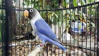 Lovebird Violet Ngetik Ampuh Buat Masteran Paud