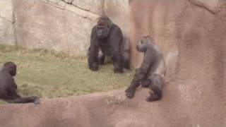 Gorillas at the LA ZOO watch the whole video