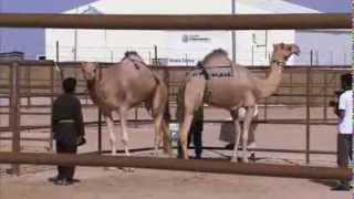 Camel Beauty Contest In United Arab Emirates