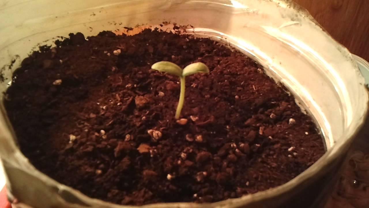 sembrar semillas de melon