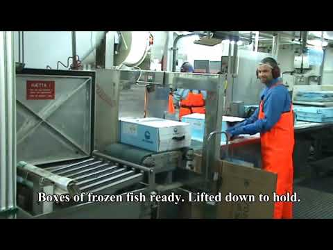 Freezing Trawler Fishing And  Processing Fish Fillets.
