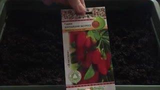 Посадка семян годжи