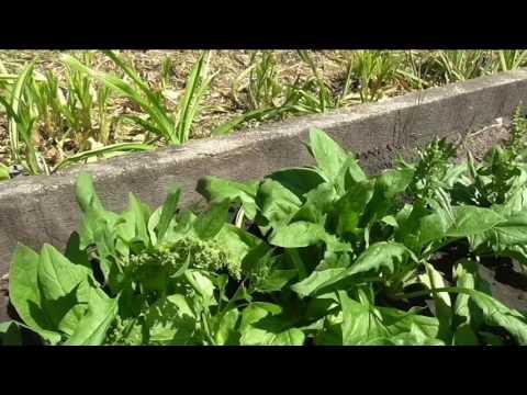 Семенной шпинат в середине июня