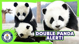 Record Breaking Panda Twins! - Meet The Record Breakers