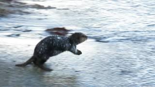 Калан убегает в море