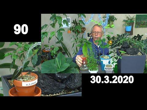 pflanzen-spezial,-moringa-pflege-im-topf,-alocasia-polly-pflegen-und-anzucht-zimmerpflanzen