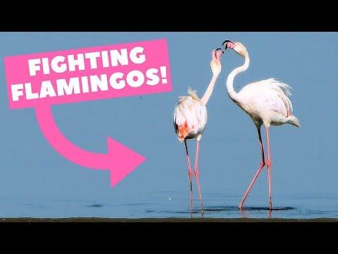 Fighting Flamingos Vechtende flamingo's (Namibië Walvisbaai)