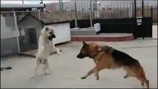 German Shepherd saves a man from a Kangal!!!