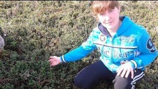 Лекарственные травы и растения - Листья брусники