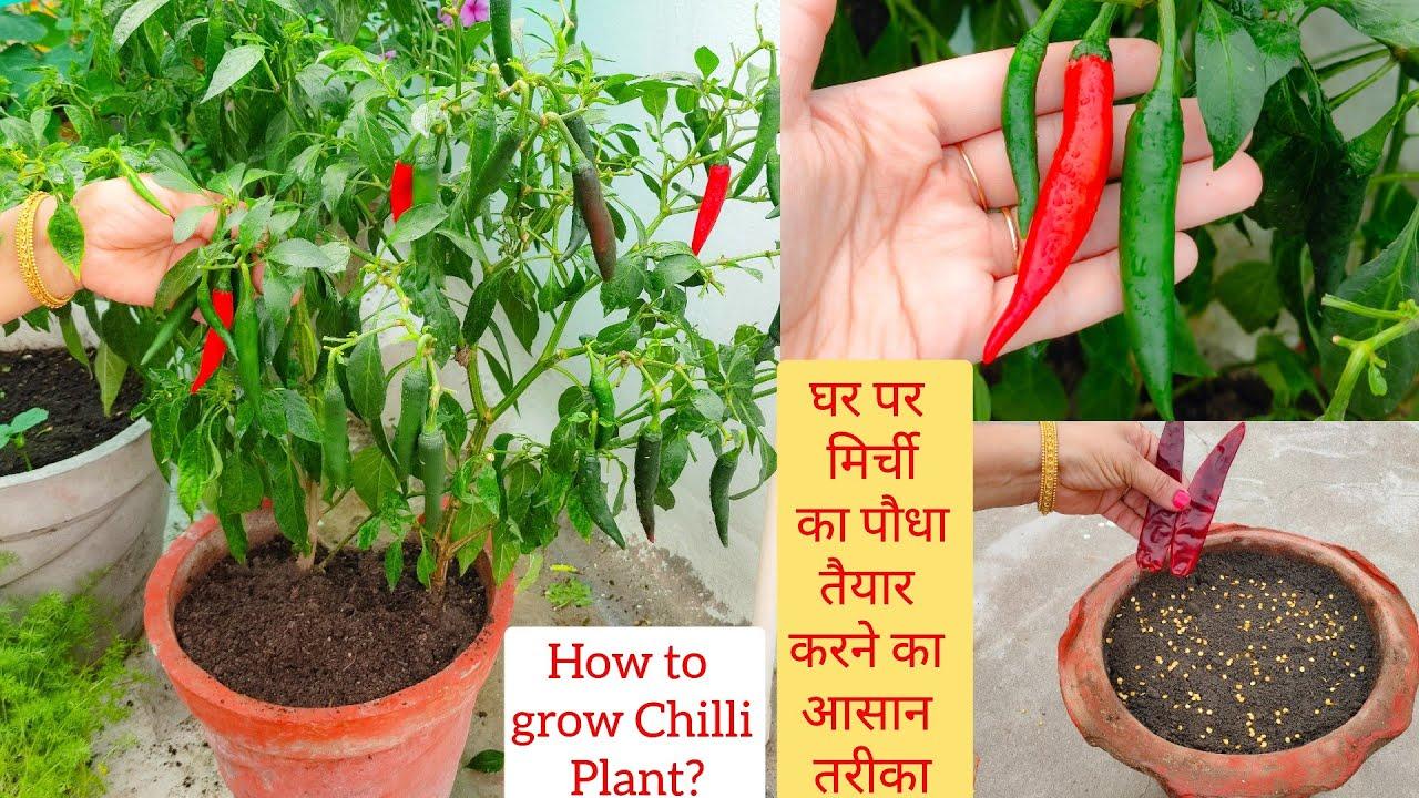 केवल 10 दिन में पाएं मिर्च के पौधे से ढेर सारी मिर्ची How to grow Chilli Plant from Seeds? Chilli