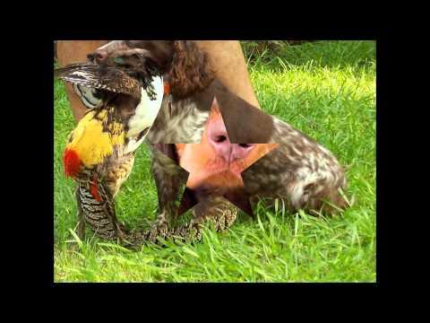 Филд-Спаниель/Field Spaniel (порода собак HD slide show)!