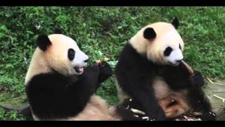 Funny Panda Приколы панды Прикольные панды кушают бамбук
