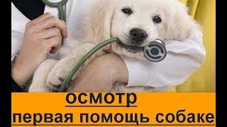 Первая помощь собаке  осмотр. как правильно осматривать собаку, первая помощь