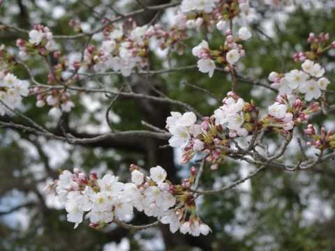 kyoto sakura sakura