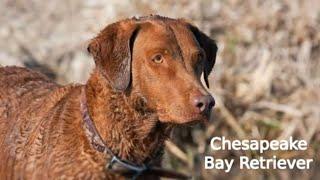 Chesapeake Bay Retriever  large size dog breed