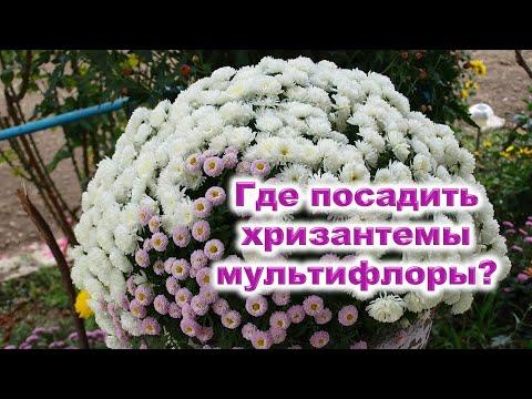 Вопрос: Можно ли выращивать хризантемы мультифлора на балконе?