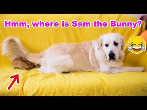 Wonderful Life Of Golden Retriever Bailey and Rabbit Sam