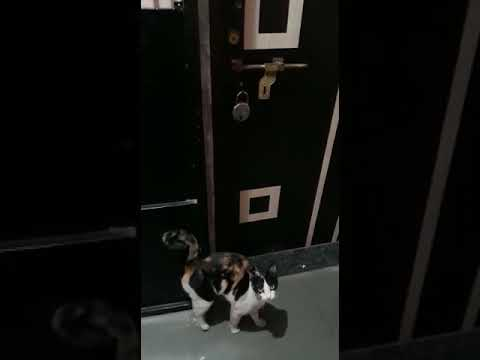 Cat knocking door