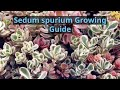 Sedum spurium Growing Guide (Two-row Stonecrop) by GardenersHQ