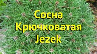 Сосна Джезек. Краткий обзор, описание характеристик, где купить саженцы pinus mugo Jezek