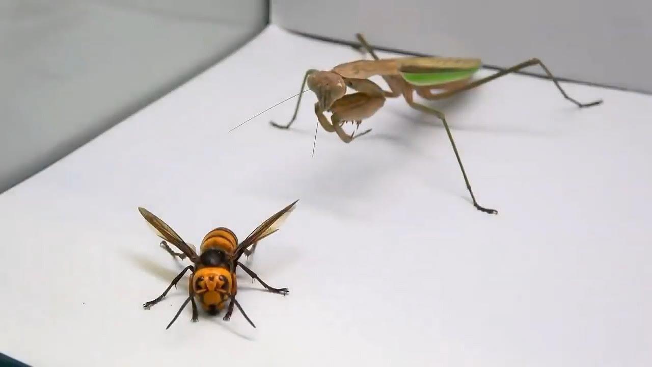 Praying Mantis Vs Murder Hornet Youtube