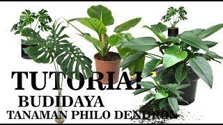 Cara praktis budidaya tanaman PHILODENDRON