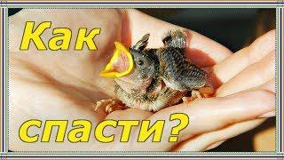 КАК И ЧЕМ КОРМИТЬ ПТЕНЦА ВОРОБЬЯ. Часть 2. Когда нужно поить и греть птенца, как правильно кормить.