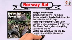 Rodent Pest Management in NORTH MIAMI, FL  ( Rodent Control & Extermination )