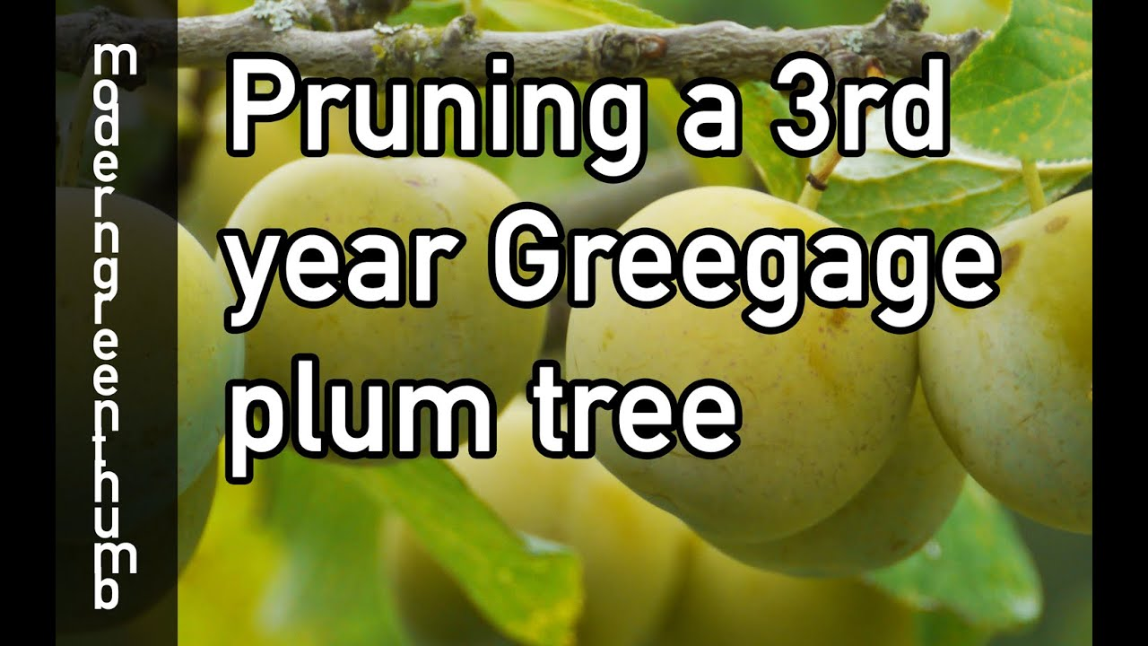 Pruning 3rd Year Greengage Plum Tree - YouTube