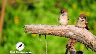Burung-gereja Erasia ; Eurasian Tree Sparrow (Passer montanus)