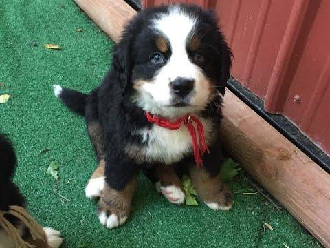 Bernese Mountain Pup 8 Weeks Old - Mario