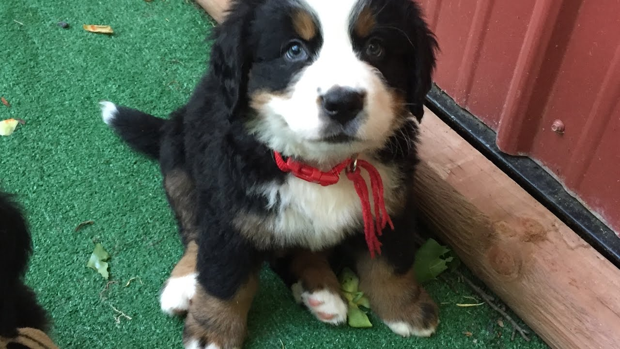 Bernese Mountain Pup 8 Weeks Old Mario