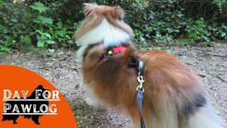 A day with a Sheltie