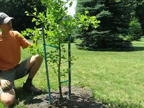 Staking A Young Tree With Landscapeconsultation Com Youtube