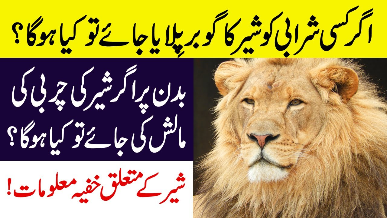 These Things You Didn't About Lions || Facts About Lion || Latest Animal Documentary in Urdu/Hindi
