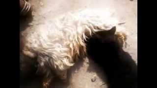 пантера вспорола живот собаки и жрет кишки