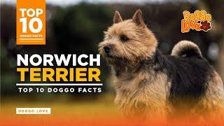 Norwich Terrier | Norwich Terrier Dog Breed | Top 10 Norwich Terrier Facts from Doggo Love.