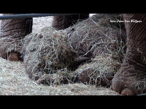 Dierenpark Amersfoort - Yunha the baby elephant covered with straw