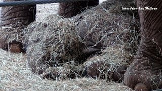 Dierenpark Amersfoort - Yunha the baby elephant covered with hay thumbnail