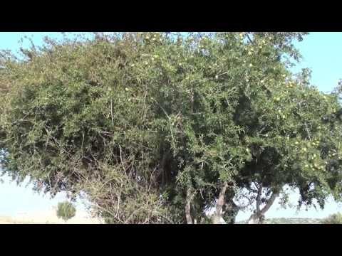 Марокко. Как делают аргановое масло или масло арганы. ARGAN OIL. MOROCCO
